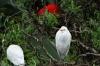 Cattle Egret. Birds of Eden Sanctuary, Plettenberg Bay, South Africa
