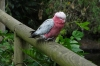 Rosie the Galah. Birds of Eden Sanctuary, Plettenberg Bay, South Africa