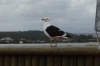Gull. Plettenberg Bay, South Africa