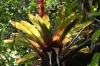 Bromeliad. Walk from the Poas Crater to Botos Lagoon
