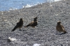 Strange birds of prey on Venado Beach on Lake Llanquihue CL