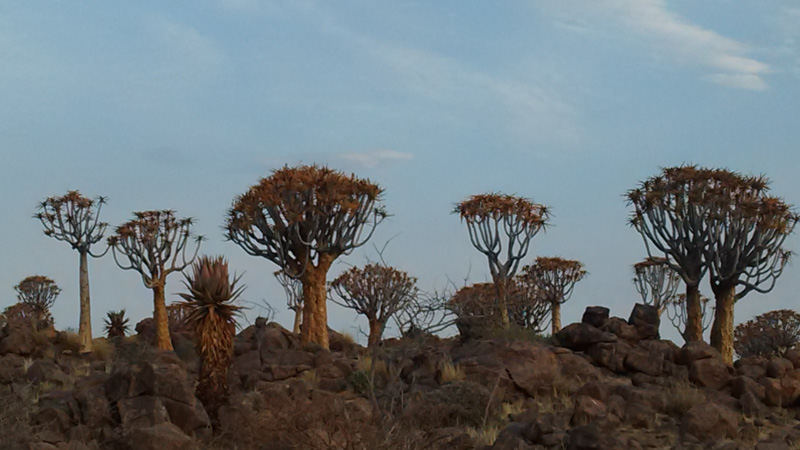 Quiver Tree Forest, South Namib Desert, Namibia