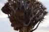 Sociable Weavers' nest, Quiver Tree Forest, South Namib Desert, Namibia