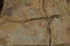 Mesosaurus Fossils, South Namib Desert, Namibia