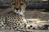 Cheetahs waiting for their evening meal, Quiver Tree Farm, Namibia