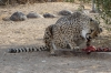 Feeding time for the cheetahs at Quiver Tree Farm, Namibia