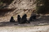 Baboon family. A walk along the Fish River, Ai-Ais Hot Springs, Namibia