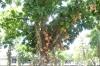 The cannonball tree (Couroupita guianensis) outside the Museu de Arte Moderna, Rio de Janeiro BR