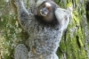Common marmoset (Callithrix jacchus), Morro da Urca, Rio de Janeiro BR
