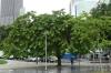 Brazil Tree (endangered), Rio de Janeiro BR