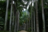 Avenue of Palms, Jardim Botânico, Rio de Janeiro BR