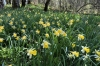 Jonquiles (daffodils) in the Forest near Eclépens CH