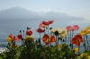 Flowers and Lac Leman, Montrexu CH