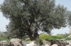 Umm Qays (ancient Roman city of Gadara) - olive tree
