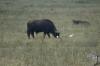 Water buffalo, Lake Nakuru National Park, Kenya
