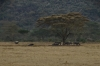 White Rhino & Water Buffalo, Lake Nakuru National Park, Kenya