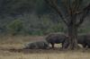 Juvenile White Rhino lolling around, Lake Nakuru National Park, Kenya