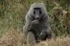 Baboons. Lake Nakuru National Park, Kenya