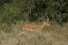 Impala. Lake Nakuru National Park, Kenya