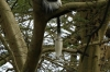 Colobus Monkey. Lake Nakuru National Park, Kenya