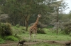 Rothschild Giraffe and baboon. Lake Nakuru National Park, Kenya