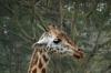 Rothschild Giraffe. Lake Nakuru National Park, Kenya