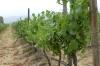 Pinto Noir grapes at the Bodegas RE Vineyards, Casablanca Valley CL