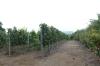 Loma Larga Vineyards (Long Hill), Casablanca Valley CL