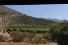 Vines in the Casablanca Valley CL