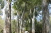 An avenue of eucalypts, Butrint AL