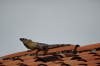 Iguana on a roof in San Francisco