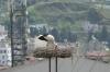 Storks nesting, Selçuk TR