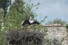 Storks nesting, Selçuk