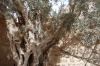 St Catherine's monastery - ancient olive trees