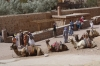 St Catherine's monastery - camels for hire