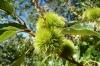 Sierra Nevada chestnut, Peña del Angel walk
