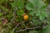 Cloudberry. Wilderness Trip in Soomaa National Park EE