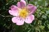 Wild roses in Bulgaria