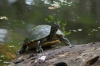Turtles at the Magnolia Plantation and Gardens near Charleston SC USA