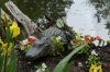 Alligators in the Magnolia Plantation and Gardens near Charleston SC USA