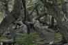 Crooked trees. The Coastal Walk in the Parque Nacional Tierra del Fuego