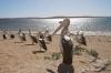 Pelicans at Venus Bay SA
