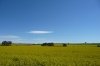 Canola Fields on Main North Rd near Clare SA