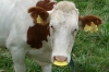 Swiss cows in Switzerland, Mont Pèlerin CH