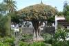 Dracaena Draco (1000 year old Dragon Tree) in Icod de los Vinos, Tenerife ES