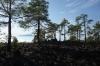 Pines grow in volcanic rock, west of El Teide peak, Tenerife ES
