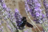 Carpenter bees enjoying the lavender at Tenuta di Papena