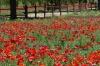 Red Corn Poppy. Flower walk in Wildseed Farm near Fredericksburg TX