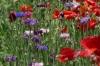 Red Corn Poppy and Cornflower. Flower walk in Wildseed Farm near Fredericksburg TX