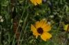 Clasping Coneflower. Flower walk in Wildseed Farm near Fredericksburg TX